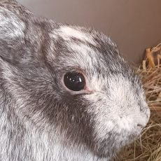 Nova (binnen konijn)