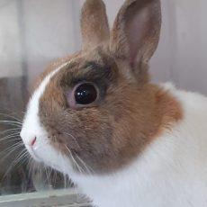 Brunoti (binnen konijn)