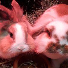 Blitz en Tosca (binnen konijnen/ via De Landerije)