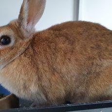 Stompy (gesteriliseerd / binnen konijn)