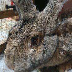 Jasmijn (gesteriliseerd/binnen konijn)