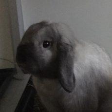 Vincenzo (binnen konijn)