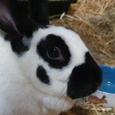 Navi (gesteriliseerd / binnen konijn)