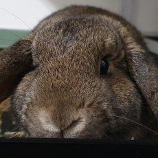 Trouble (binnen konijn)