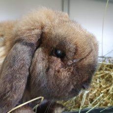 Bobo (binnen konijn)