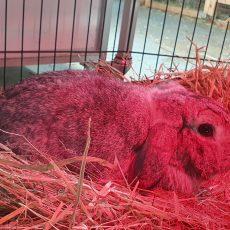 Yuki (binnen konijn)