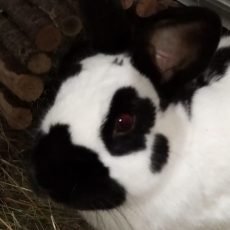 Margriet (gesteriliseerd/binnen konijn)