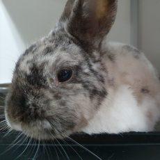 Bert (binnen konijn)