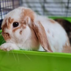 Diggy (binnen konijn)