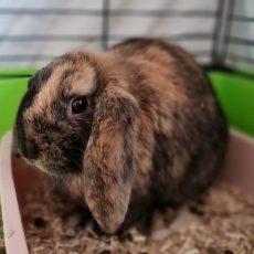 Wopke (binnen konijn)